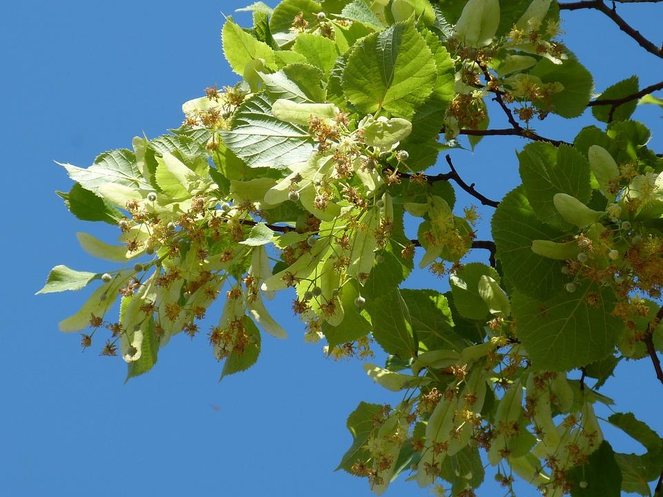 Lindenblueten