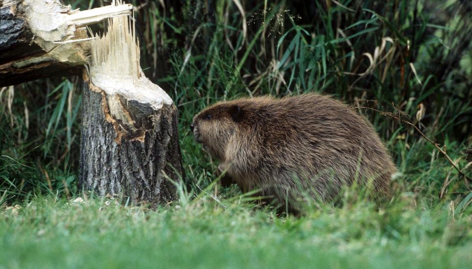 Jagdverwaltung stellt Warnschilder wegen bissigen Nagers im Rhein auf